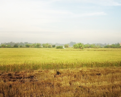 Rizière dans le delta du Mékong, Vietnam — Photo © Vo Trung Dung / AsiePacifique.fr - Tous droits réservés - All rights reserved.