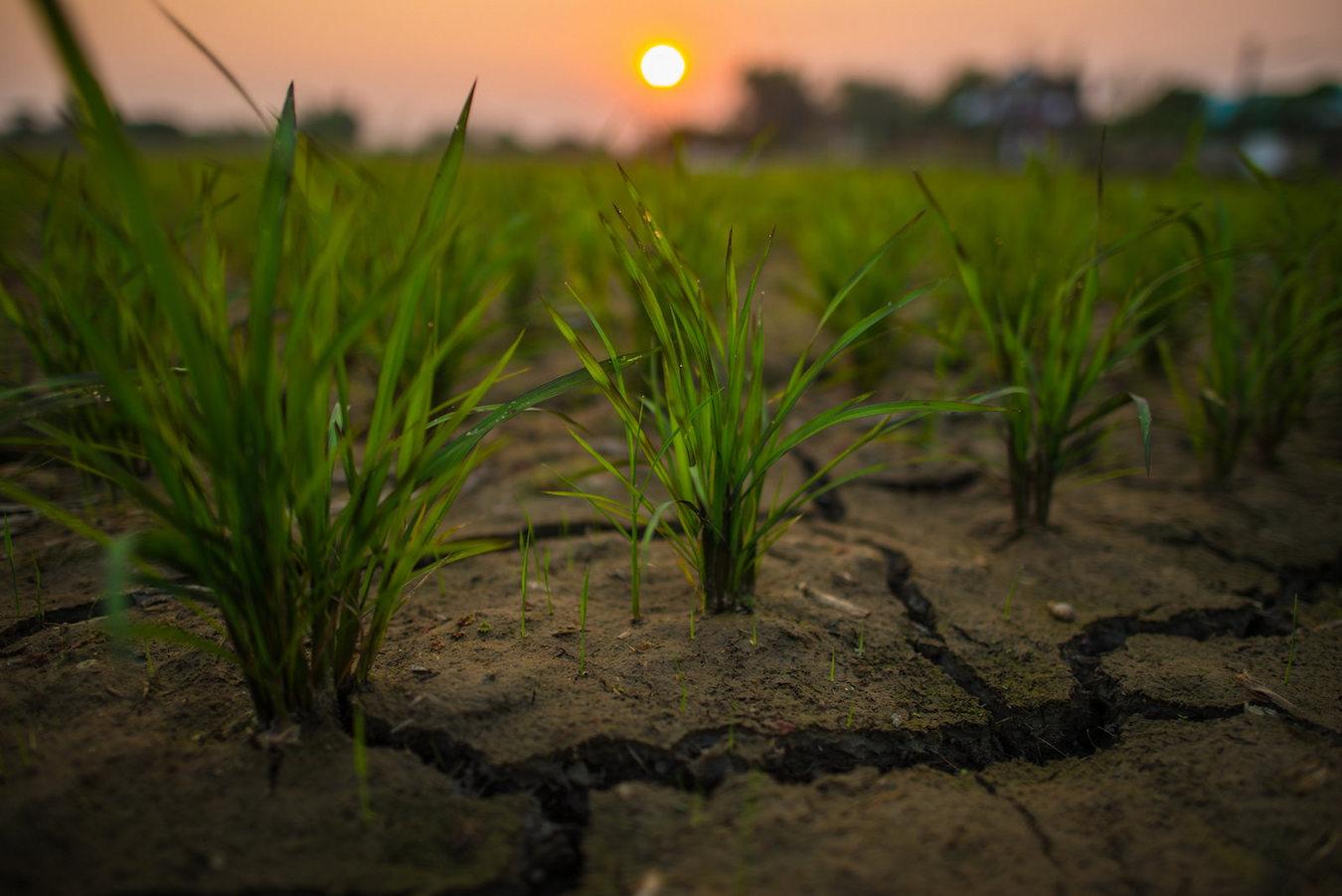 Champ de riz en situation de sécheresse. Asie. Photo (c) UNDP Thailand